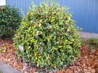 Ilex Aquifolium Pyramidalis Aureomarginata The Annual Growth Being 10 15 Cm Long Female